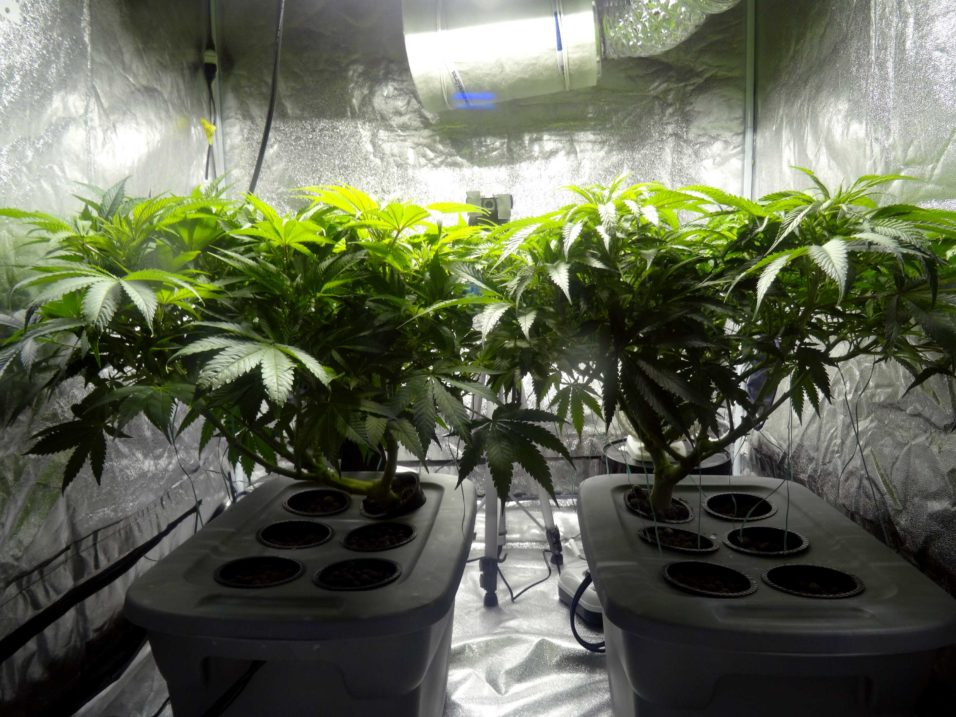 How to choose the right indoor marijuana to grow light